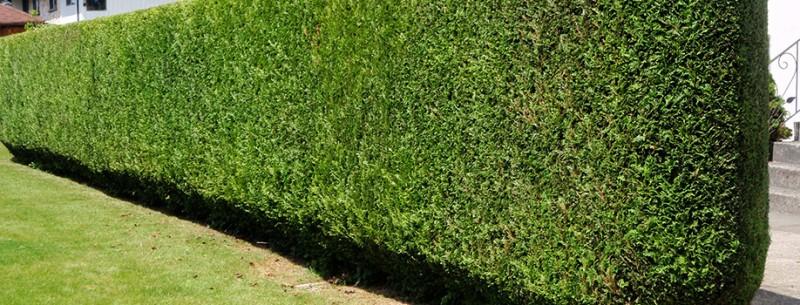hedge